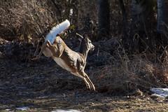 DSC_0281 (devinc13) Tags: castlegar deer jump white tailed