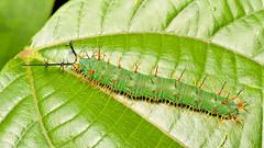 Caterpillar, Catonephele acontius (Eerika Schulz) Tags: caterpillar schmetterlingsraupe raupe ecuador puyo eerika schulz catonephele acontius