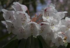 Rhododendron (dramadiva1) Tags: