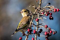 05 01 2019 (cathyk31) Tags: verdierdeurope oiseau carduelischloris europeangreenfinch fringillidés passériformes bird