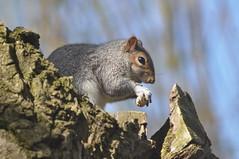 Grey Squirrel (Common Buzzard) Tags: colchester essex park animal mammal squirrel