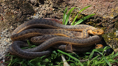 Wandering garter snakes (Thamnophis elegans vagrans) (phl_with_a_camera1) Tags: western terrestrial garter snake thamnophis elegans
