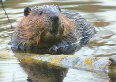 The beaver-dam (irio.jyske) Tags: animalphotograph animalphotographer animal beaver beaverdam beavermother food trees pond water friendly eyes ears nice photographer photograph photos pic naturephoto naturepictures nature naturepic naturephotograph naturescape naturephotos naturephotographer naturepics natural nose photolibrary2018 yj