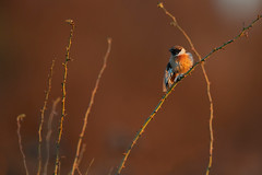 stonechat (leonardo manetti) Tags: uccello bird nature red winter colours naturephotography field natural nikkor countryside green morning black stonechat sunset d850 macro albero saltimpalo fields