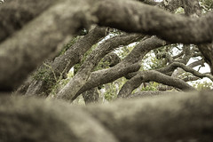 Twisting Oak Trees - The Big Tree No. 2 (Mabry Campbell) Tags: texas thebigtree usa attraction bark branches brown image intimatelandscape landmark limbs oaktree oaktrees photo photograph texture touristattraction tree trees twisting f28 mabrycampbell march 2019 march162019 20190316mabrycampbellh6a5016 200mm ¹⁄₂₀₀sec 400 ef200mmf28liiusm