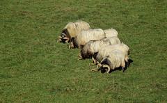Tondeuse écolo.. (Bangui59) Tags: prairie moutons paysbasque