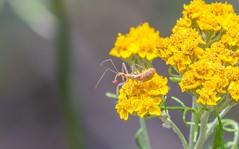 Assassin bug with prey (Photosuze) Tags: insects bugs feeding predators assassinbugs nature wildlife animals eating