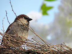 Sparrow in a spring park (Oleg Elkov) Tags: sparrow spring park season blossom sky blue flowers leaf green white wicker fence sunny weather garden sitting ecology environment concept nature wildlife early branch tree wild beak animal brown day feather small young forest perched winter