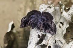 Ebrietas anacreon (hippobosca) Tags: lepidoptera peru macro hesperiidae skipper insect butterfly ebrietasanacreon