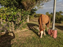 horse on a mission at the airport (lezumbalaberenjena) Tags: santa clara cuba 2019 lezumbalaberenjena airport aeropuerto abel santamaría villas villa