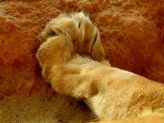 Berber Löwen 'Pfötchen' 😉 (BrigitteE1) Tags: erlebniszoohannover berberlöwe barbarylion extinctinthewild löwe lion pranke paws