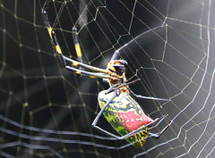 Giant spider in Nepal (Dave Russell (1.3 million views thanks)) Tags: nagacot nagarcot nepal trek giant large spider nature wild life wildlife arachnid web colour color travel tourism tree nagarkot canon eos eos7d 7d nagakot