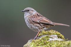 Dunnock (Mrs.Geordiepix) Tags: dunnock bird garden
