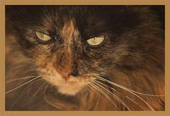 DSC04619 Easy Portrait (Olpo2vin) Tags: cat chat yeux eyes regard look félin feline olpo easy poils fourrure redessan 30129 animaldecompagnie vibrisses