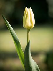 Tulip (holgerreinert) Tags: 2019 april gx80 mzuiko60mm natur nature wohnanlage