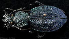 Carabus (Procerus) gigas (achrntatrps) Tags: laufkäfer coleoptera coléoptères beetles käfer insect insecte insekten bug macro alexandredellolivo dellolivo photographe photographer nikon achrntatrps achrnt atrps radon200226 radon nikkormicro105mmf28 sb700 sb900 d850 carabusgigas procerusgigas