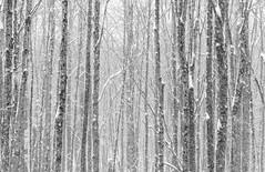 Trees (Ronda Hamm) Tags: 2470mm 7dii eaglecreekpark indiana bark blackandwhite canon indianapolis lines snow trees winter woods