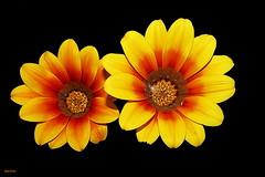 """""""Um par de jarras"""" (Zéza Lemos) Tags: jardim jardins portugal vilamoura flores flor flowers amarelo natureza natur algarve gotas água"""