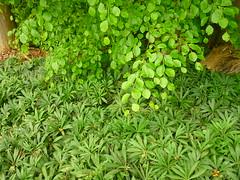 Grüne Nieswurz (Jörg Paul Kaspari) Tags: grünenieswurz helleborusviridis teppich bodendecker buchenwald waldrand