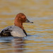 Pochard (Simon Stobart) Tags: pochard aythya ferina north east england uk swimming lake water male