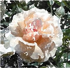 Wie tief gebeugt liegst du im Staube (amras_de) Tags: rose rosen ruža rosa ruže rozo roos arrosa ruusut rós rózsa rože rozes rozen roser róza trandafir vrtnica rossläktet gül blüte blume flor cvijet kvet blomst flower floro õis lore kukka fleur bláth virág blóm fiore flos žiedas zieds bloem blome kwiat floare ciuri flouer cvet blomma çiçek zeichnung dibuix kresba tegning drawing desegnajo dibujo piirustus dessin crtež rajz teikning disegno adumbratio zimejums tekening tegnekunst rysunek desenho desen risba teckning çizim