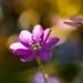 Liverleaf in the spring