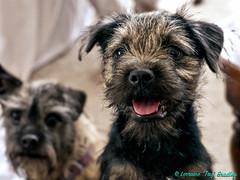 Tiggy with Jenny B - 28th Jan 19 (TAZ BRADLEY) Tags: afsnikkor50mm14g jennyb tiggy borderterrier puppy nikon nikond90 50mm nikkor hdr aurorahdr cutepuppy dog dogs dcp