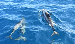 We are family. (pstone646) Tags: dolphin family indianocean swimming animals wildlife fauna waves water maldives dolphins nature cetacea