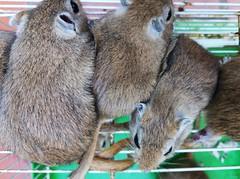 JERBOS (DAGM4) Tags: españa europa europe espagne espanha espagna espana espanya espainia spain spanien 2019 animals animales