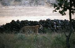 Bengal tiger in Bandavgarh National Park in Madhya Pradesh, India (inyathi) Tags: india indiananimals indianwildlife asiananimals asianwildlife madhyapradesh bengaltiger tigers pantheratigris pantheratigristigris bigcats cats bandavgarh nationalparks
