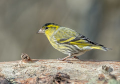 JWL9716 Siskin.. (Jeff Lack Wildlife&Nature) Tags: songbirds siskin siskins forest finch finches forestry wildlife wildbirds woodlands wildlifephotography jefflackphotography trees countryside conifer conifers pineforest pines gardenbirds nature birds avian animal