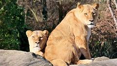 Löwen beobachten Hunde (Sanseira) Tags: zoo augsburg löwen