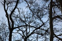 Nackte Realität (gripspix) Tags: 20190206 iscogöttingen stellagon 128100mm projectionlens projektionsobjektiv selfadapted selbstangepasst trees bäume kiefern pines decay waldsterben tod nadelverlust lossofneedles absterbend