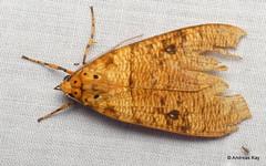 Tiger moth, Elysius aurantiacus? Erebidae (Ecuador Megadiverso) Tags: andreaskay arctiinae ecuador erebidae moth tigermoth wildsumaco elysiusaurantiacus