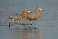 Me and my shadow (ChicagoBob46) Tags: reddishegret egret bird bunchebeach fortmyers florida nature wildlife ngc npc naturethroughthelens coth5