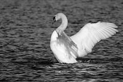 IMG_2481 (LezFoto) Tags: swan mute cygnusolor loirstonloch aberdeen scotland unitedkingdom canoneos700d sigma 700d canon 120400mmf4556dgapooshsm digitalslr dslr canonphotography sigmalens