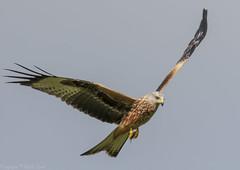Red Kite - (Milvus milvus) 'Z' for zoom (hunt.keith27) Tags: milvusmilvus kite red raptor hunter bird feather wing beak talons wales gigrin beautiful flying canon crop hawk animal sky eagle