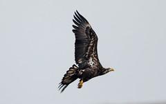 7K8A1049 (rpealit) Tags: scenery wildlife nature edwin b forsythe national refuge brigantine immature bald eagle bird