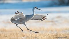 Hop, skip and... (Earl Reinink) Tags: crane sanhillcrane winter field snow bird animal outdoors nature hop skip jump earlreinink earl reinink thaazaudea