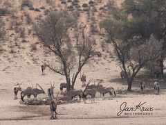 Kgalagadi Transfronier Park (Jan-Krux Photography) Tags: antilopes antilopen tier animal mammal saeugetier herd herde wild frei roaming wandern wildlife kgalagaditransfrontierpark southafrica namibia botswana africa afrika safari 4x4 travel reisen abenteuer wildnis adventure offroad olympus omd em1 gemsbok oryxgazella