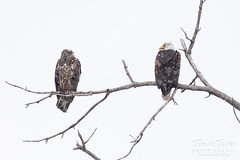 February 18, 2019 - Bald eagles weather the snow. (Tony's Takes)