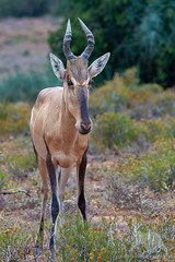 Red Hartebeest (fascinationwildlife) Tags: animal mammal wild wildlife nature natur national park addo elephant eastern cape red hartebeest kuhantilope antelope morning summer südafrika south africa afrika african tiere