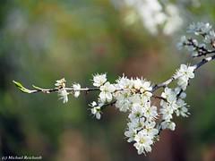 Frühling / Spring (Mike Reichardt) Tags: flower blume blüte blossom spring frühling macro makro nahaufnahme nature natur nah dwwg details garden garten