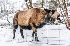Winter Goat - January 2019 VII (boettcher.photography) Tags: winter januar january schnee snow germany deutschland badenwürttemberg neckargemünd dilsberg ziege goat animal tier sashahasha boettcherphotography boettcherphotos 2019