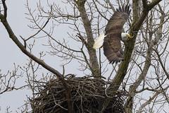 Taking Flight (player_pleasure) Tags: eagle flight nesting tree bird wings feathers
