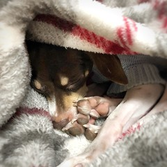 All tucked in and ready for bed :) (mariannedeselle (slowly catching up)) Tags: dog terrier ratterrier smalldog rescuedog cute