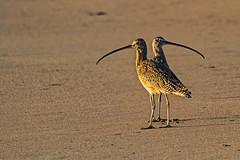 Whimbrel in stereo (j1985w) Tags: beach ocean birds gazoscreekbeach california whimbrel
