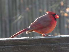 IMG_3017 (mnhall57) Tags: bird cardinal