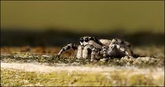 Jumping Spider (DebbieH82) Tags: 200319messingham canon5dmkiv 100mmmacrolens jumpingspider