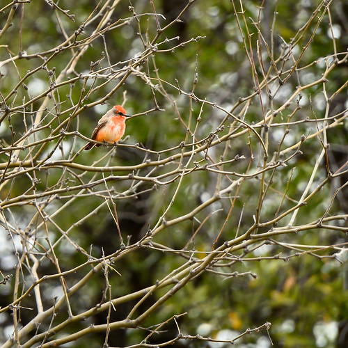 Vermillion Flycatcher (immature)